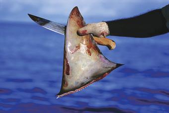 O comércio de barbatanas de tubarão é uma indústria lucrativa em grande parte da Ásia. Foto: Cortesia WildAid.