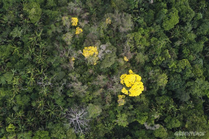 Árvore de Ipê florescendo no meio da floresta Amazônica. Foto: © Greenpeace / Daniel Beltrá