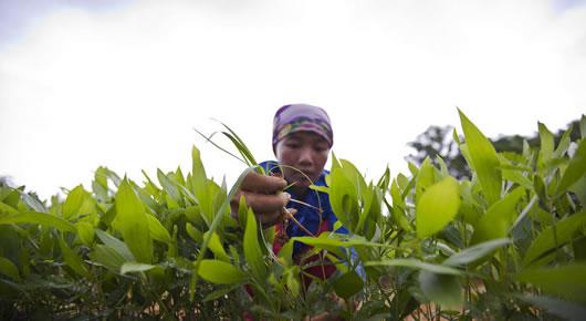 Remoção de ervas daninhas num viveiro de acácias em Back Kan, Vietnã. Foto: FAO
