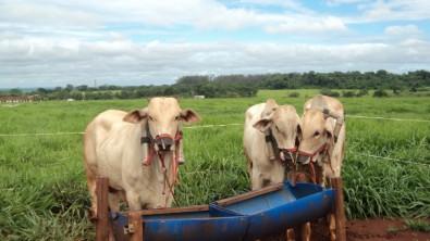 Objetivo é contribuir para a redução da emissão de gases de efeito estufa pela pecuária. Foto: Maria Eugenia Zerlotti Mercadante