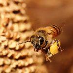 Abelhas sem ferrão usam guardas especializadas para defender as colmeias de invasores