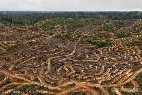 Áreas de extração de óleo de palma para a P&G, na Indonésia. Foto:  © Ulet Ifansasti / Greenpeace