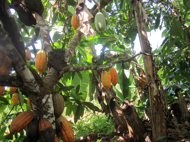 Cacaueiro carregado de frutos, à sombra de algumas plantas de banana, na propriedade da família Wronski, no município de Medicilândia, no Pará, na Amazônia brasileira, onde os produtores orgânicos ajudam a reflorestar a região. Foto: Mario Osava/ IPS