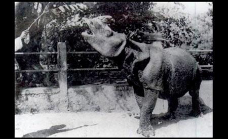 Rinoceronte-de-java lidera a lista de animais que podem entrar em extinção a partir de 2015. Foto: Wikimedia Commons