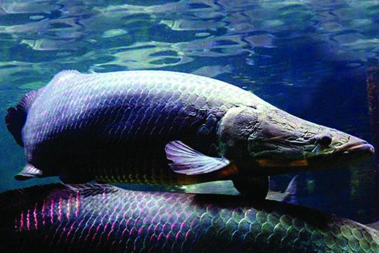 É cada vez mais raro encontrar pirarucus nas águas da região. Foto: Istockphoto