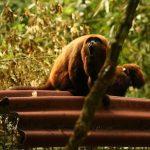 Espécie considerada extinta há mais de 100 é reintroduzida na floresta