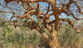 Árvore de umburana, planta da Caatinga que pode ser usada no combate ao mosquito Aedes aegypti. Foto: Divulgação/Embrapa