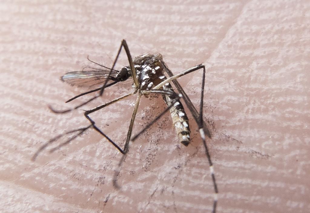 Mosquito Aedes aegypti está na mira de pesquisas que utilizam radiação para tornar insetos estéreis e controlar populações. Foto: FotosPúblicas / Rafael Neddermeyer