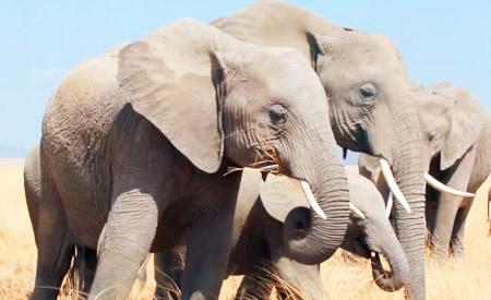 elefante-ecod