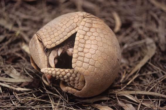 Tatu-bola. Foto: Fábio Colombini/Fundação Grupo Boticário