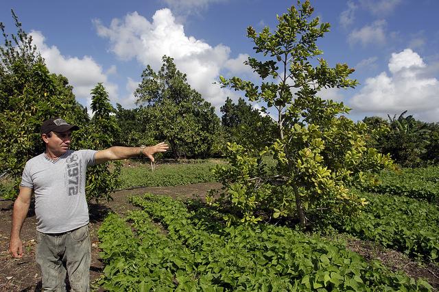 Eugenio Pérez mostra diversas variedades que crescem no viveiro experimental de sua propriedade, no município rural de JesúsMenéndez, no leste de Cuba, onde suas espécies frutíferas e os embriões gozam de crescente fama. Foto: Jorge LuisBaños/IPS