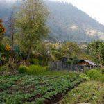 Reflorestamentos que produzem alimentos