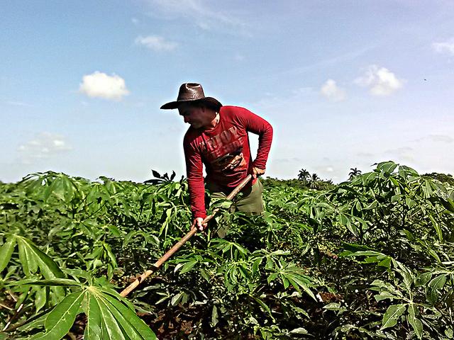 O camponês Julio César Pérez na plantação de mandioca em uma das propriedades da Cooperativa de Crédito e Serviços Eduardo R. Chibás, na província de Holguín, em Cuba. Graças a um sistema de irrigação instalado em 2010, o rendimento da cooperativa aumentou 70%. Foto: Ivet González/IPS