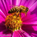 Agrotóxico ameaça vida das abelhas e de outros animais