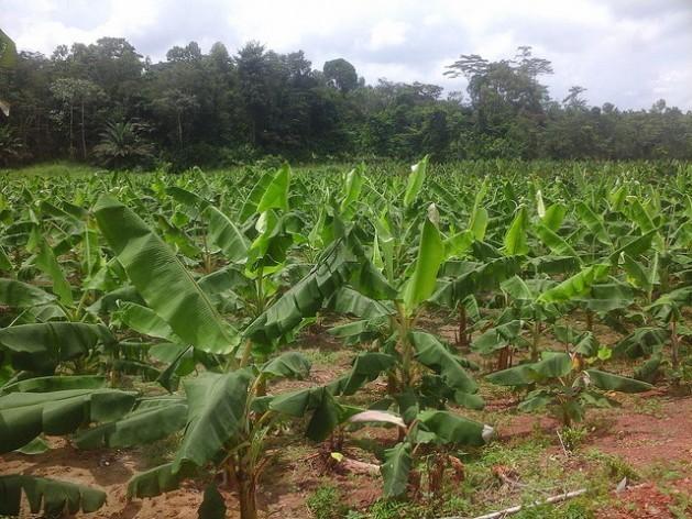 A plantação de bananas de Albert Kanga,em Abidjã, na Costa do Marfim. Foto: Friday Phiri/IPS
