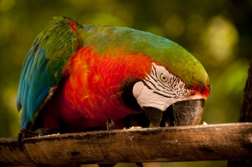 Arara no Pantanal mato-grossense. O complexo de áreas protegidas da região é considerado patrimônio mundial natural pela UNESCO. Foto: wanderlasss / Flickr (CC)