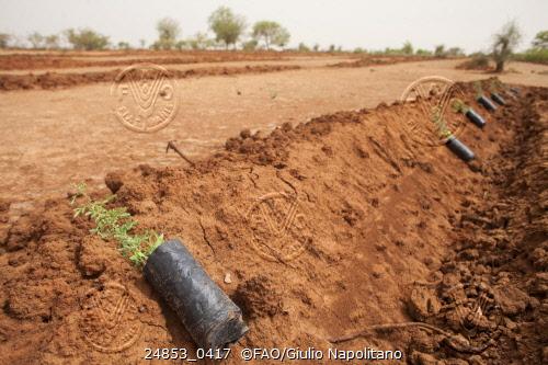 Na região de Yibo, em Burkina Faso, mudasque serão plantadas. Foto: Giulio Napolitano/FAO