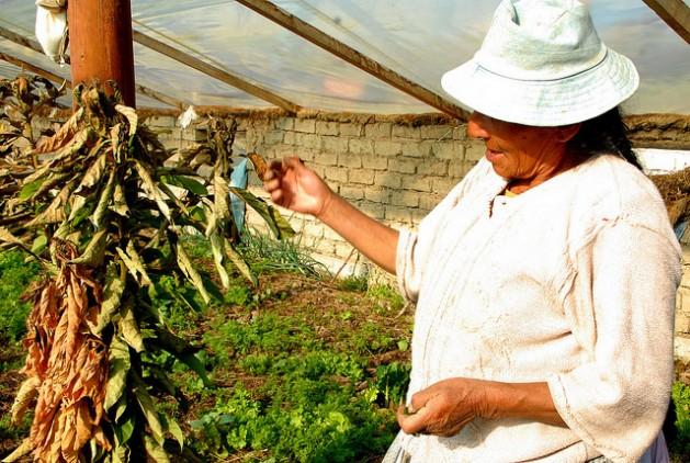 Camponesa mostra uma das plantas murchas em sua pequena estufa por falta de água para irrigação, em uma localidade próxima a Sucre, capital da Bolívia. Foto: Franz Chávez/IPS