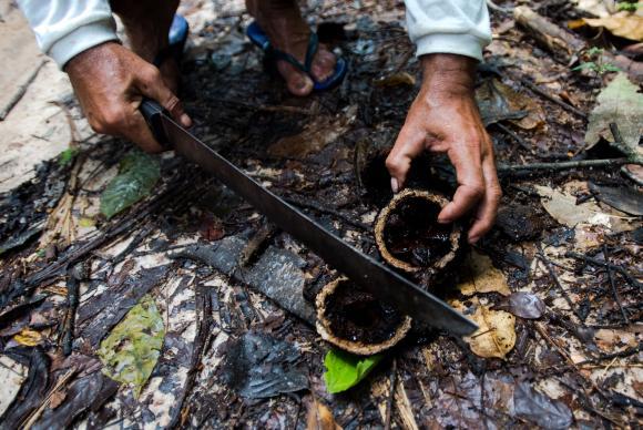 Antônio Bento de Oliveira abre fruto da castanheira colhido na reserva legal comunitária do assentamento Vale do Amanhecer. Foto: Marcelo Camargo/Agência Brasil