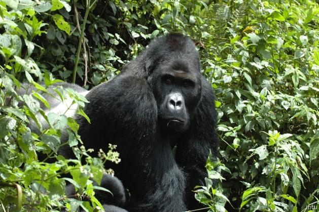 """Quatro das seis espécies de grandes símios estão na categoria """"em perigo crítico de extinção"""" da Lista Vermelha de Espécies Ameaçadas. Foto: Cortesia da União Internacional para a Conservação da Natureza (UICN)"""