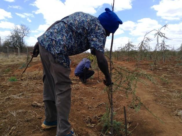 Técnico do Instituto de Pesquisa Florestal do Quênia poda uma acácia no terreno seco do sítio de testes localizado em Tivu, no condado de Kitui. Foto: Justus Wanzala/IPS