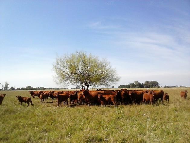 A América Latina produz 23% da carne bovina do mundo, que é a ponteira da próspera pecuária regional, embora a atividade ameace sua sustentabilidade. Na foto, um pequeno rebanho busca abrigo em torno da única árvore no pasto, noPampa argentino. Foto: Fabiana Frayssinet/IPS