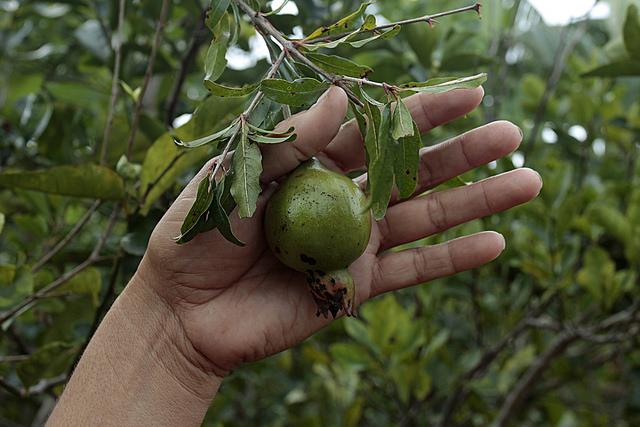 Uma romã das que crescem em uma das árvores frutíferas cultivadas por Aliuska Labrada, na horta que tem próximo à sua casa para consumo familiar, na localidade de Ciénaga de Zapata, em Cuba. Foto: Jorge Luis Baños/IPS