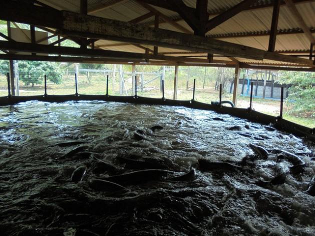 Piscicultura anima e desafia amaz nicos envolverde for Piscicultura en tanques plasticos