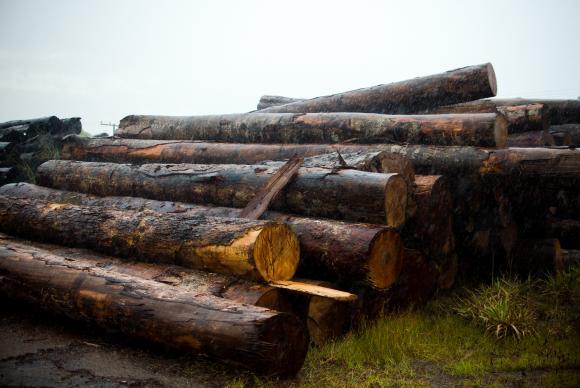 Toras de madeira extraídas ilegalmente da Terra Indígena Manoki apreendidas pelo Ibama. Foto: Marcelo Camargo/Agência Brasil